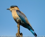 indian roller
