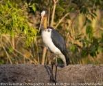 egyptian stork