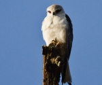 black shoulder kite