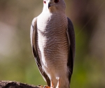 shikra