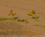 sand bathing green bee eater