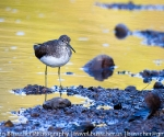 Sandpiper