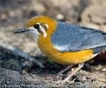 orange headed ground thrush