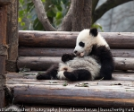 panda_base-20110206-img_3593
