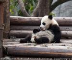 panda_base-20110206-img_3593