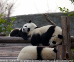 panda_base-20110206-img_3609
