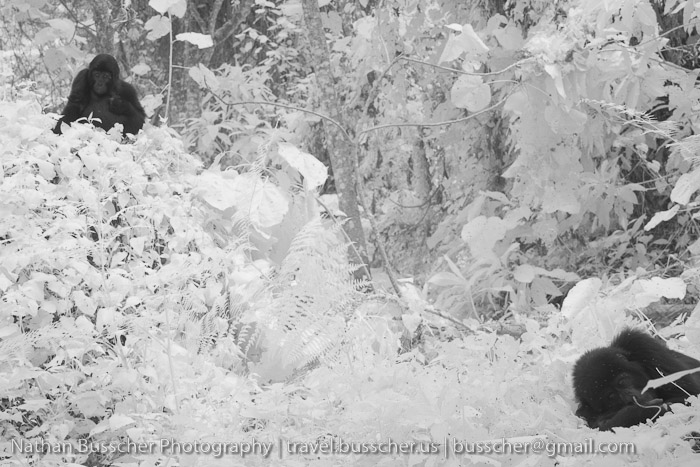 Infrared Gorillas