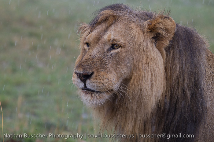 wet black maned lion