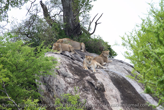 lions lounging on a rock